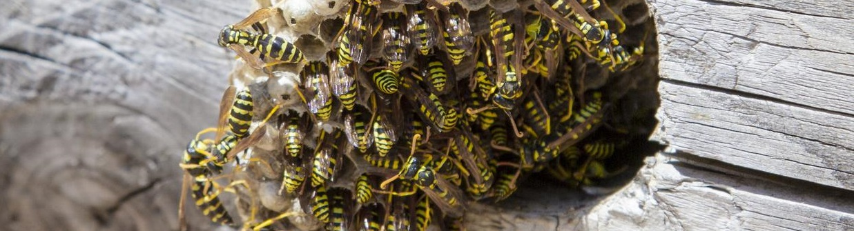 How to get rid of a wasps nest?
